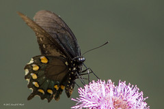 Pipevine Swallowtail 3360