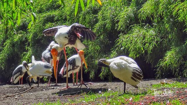 Milky Stork, Diergaarde Blijdorp, Rotterdam, Netherlands - 5032