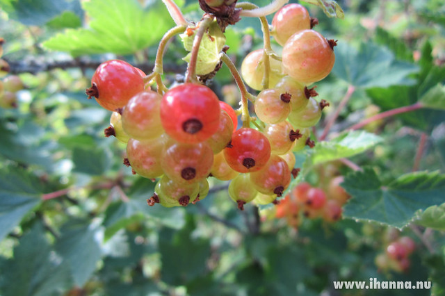 Berries starting to ripen Photo by Hanna Andersson @ihanna #swedishsummer
