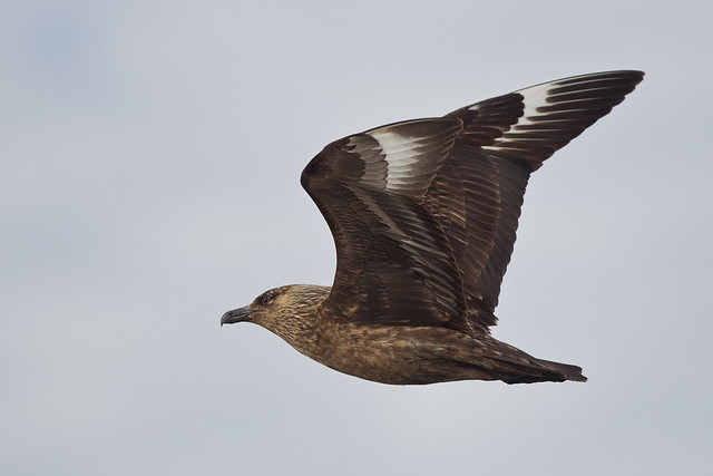 Great Skua, Canon EOS-1D MARK IV, Canon EF 300mm f/2.8L IS