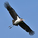 Marabou Stork (Helen Pinchin)