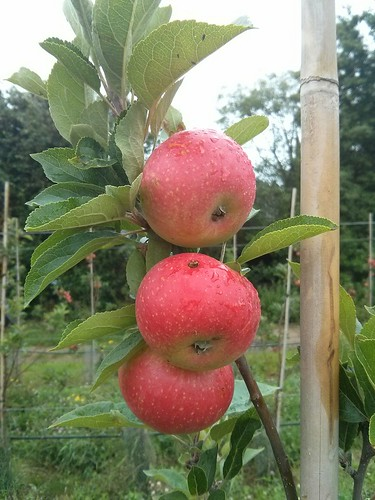 GREATsoils - field day at Loddington Orchard, Kent