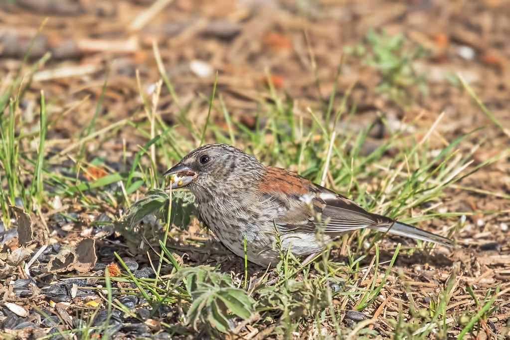 Dark-eyed-Junco-60-7D2-071917