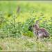 Wary Rabbit