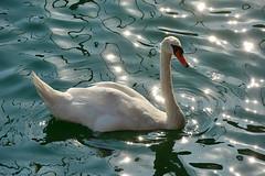 DSC_2306  Swan 1 Croatia 2017.