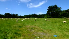 Scotland west coast Inverkip a field of newly sheared sheep that are not happy about it 24 July 2017 video by Anne MacKay