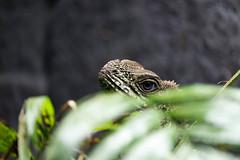 Lizard Behind Grass