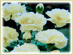 Mesmerizing light yellow flowers of Dianthus caryophyllus (Carnation, Border Carnation, Clove Pink), 18 July 2017