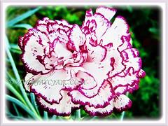 (Carnation, Border Carnation, Clove Pink)