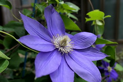 Photo:Clematis flowers (テッセン) at Hosenji (法泉寺) By Greg Peterson in Japan