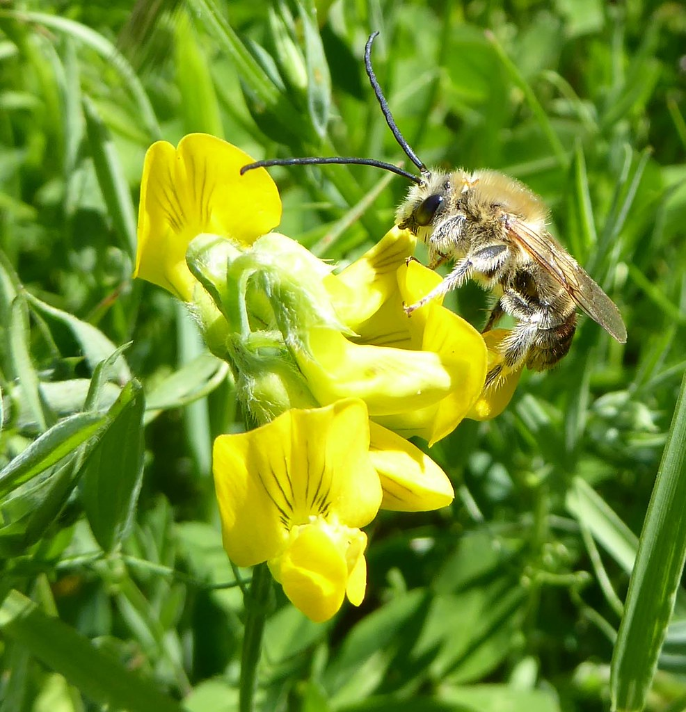 Male long-horned bee on meadow vetchling