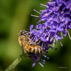 Bi - Bee - Emdrup -  Danmark-9304