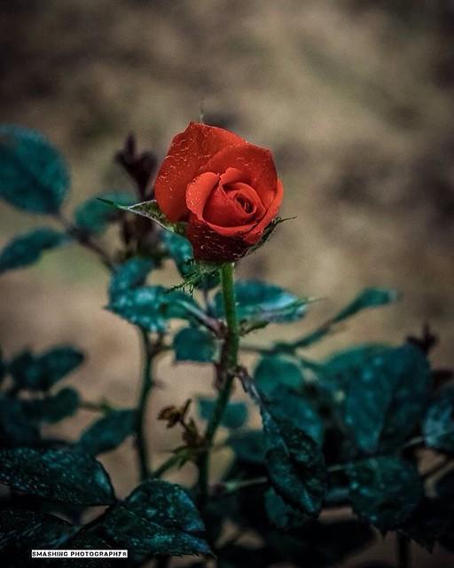 #rose #flower #photography #nikond5300 #throwback #smashingphotography #naturebeauty