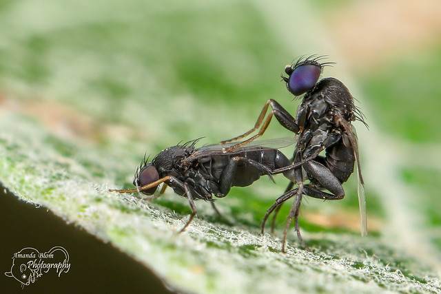 Flies in Love, Canon EOS 5D MARK IV, Canon EF 100mm f/2.8L Macro IS USM