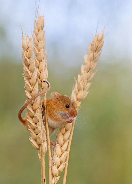JWL4128  Harvest Mouse...