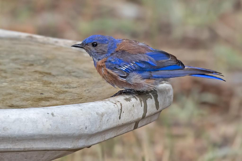 Western-Bluebird-33-7D2-071717