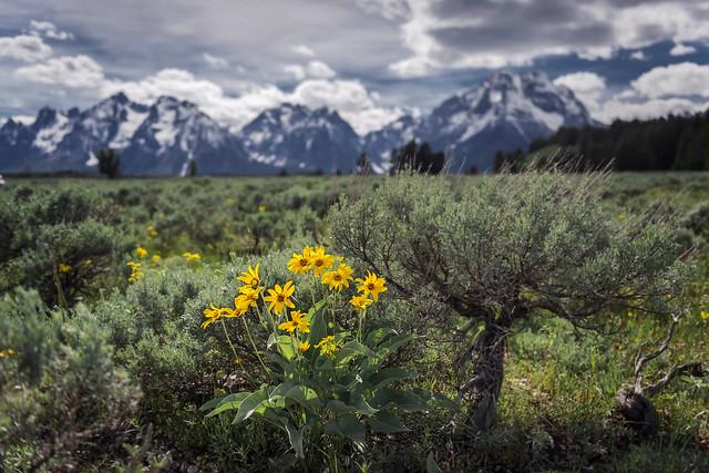 Spring Wildflowers (Grand Teton National Park)