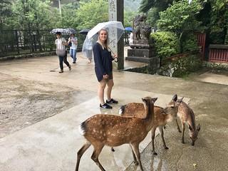 Rehe auf Miyajima