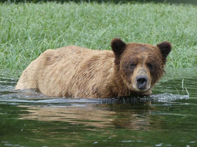 Grizzly - Khutzeymateen Sanctuary