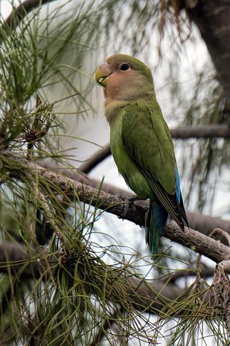 Phoenix: Rosy-faced Lovebird