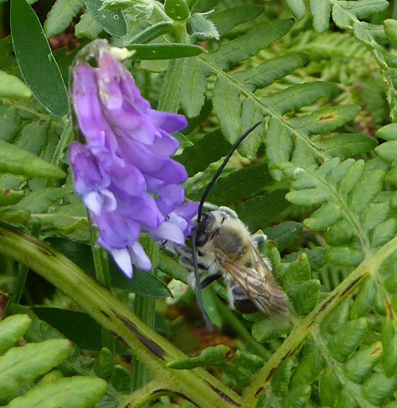 Male long-horned bee