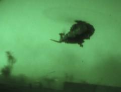RAF Merlin HC3 approaching near Basra, Iraq