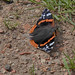 20170714 Wlk frm Clumber_0093 Red Admiral Butterfly
