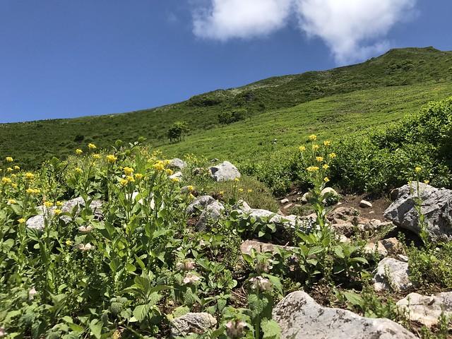 伊吹山 表登山道 6合目 ヤマガラシ