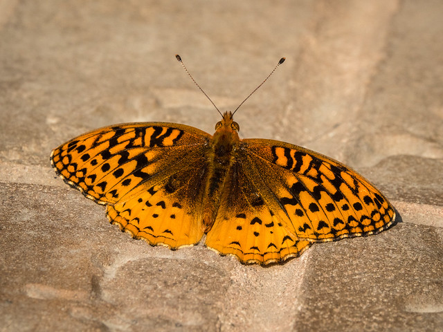 Aphrodite Fritillary butterfly