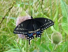 Eastern Black Swallowtail - Female
