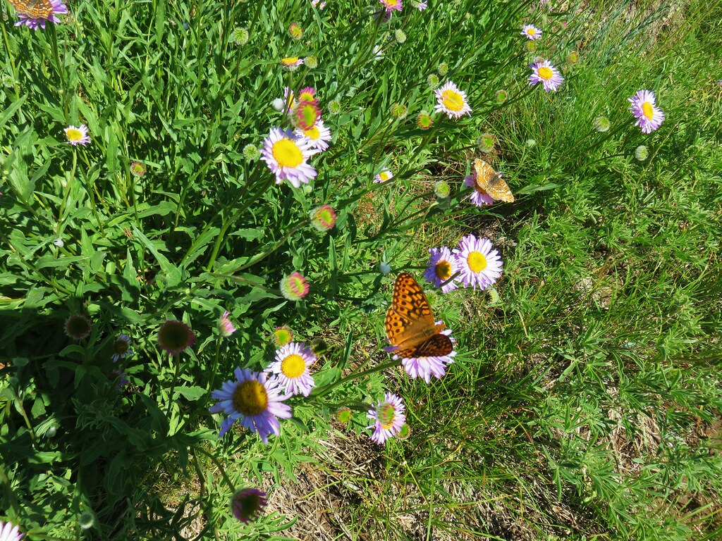 Butterflies in Grasshopper Meadow