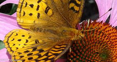 Great Spangled Fritillary Butterfly 20170702_141038-11.jpg