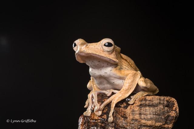 Borneo Eared Frog D50_8187.jpg
