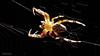 Spinne im Gegenlicht... by CappyFoto