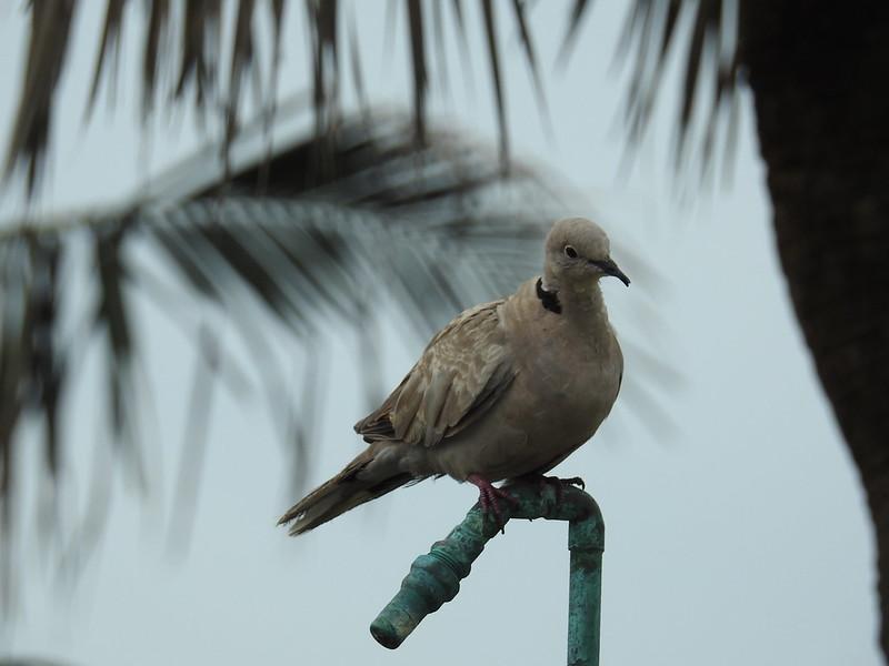 Oiseaux d'ailleurs 35448915923_7922aedcbc_c
