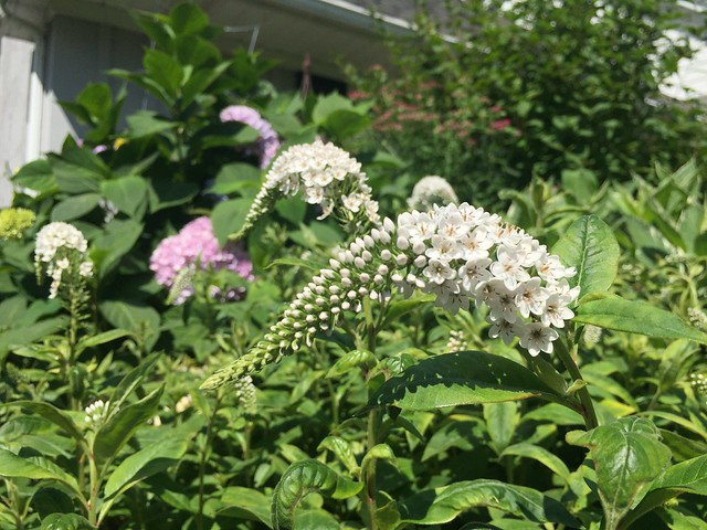 Garden Bloggers' Bloom Day: July 2017