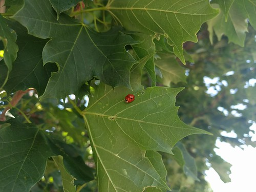 ladybug on maple