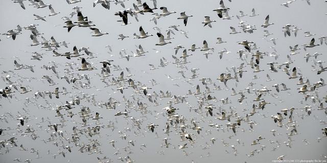 2013-01-20 Snow Geese (39) (2048x1024)