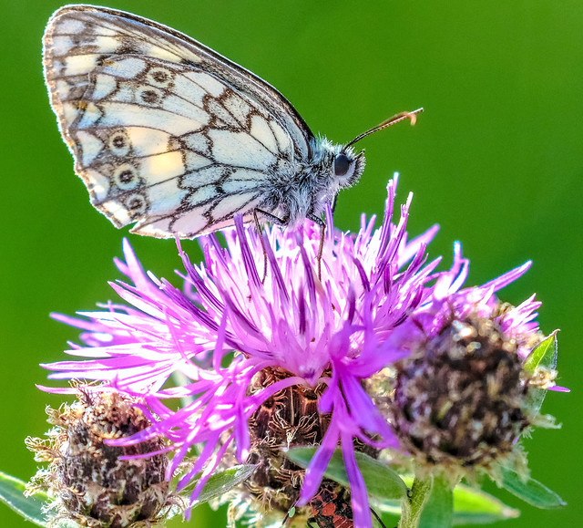 marbled white on a thistle