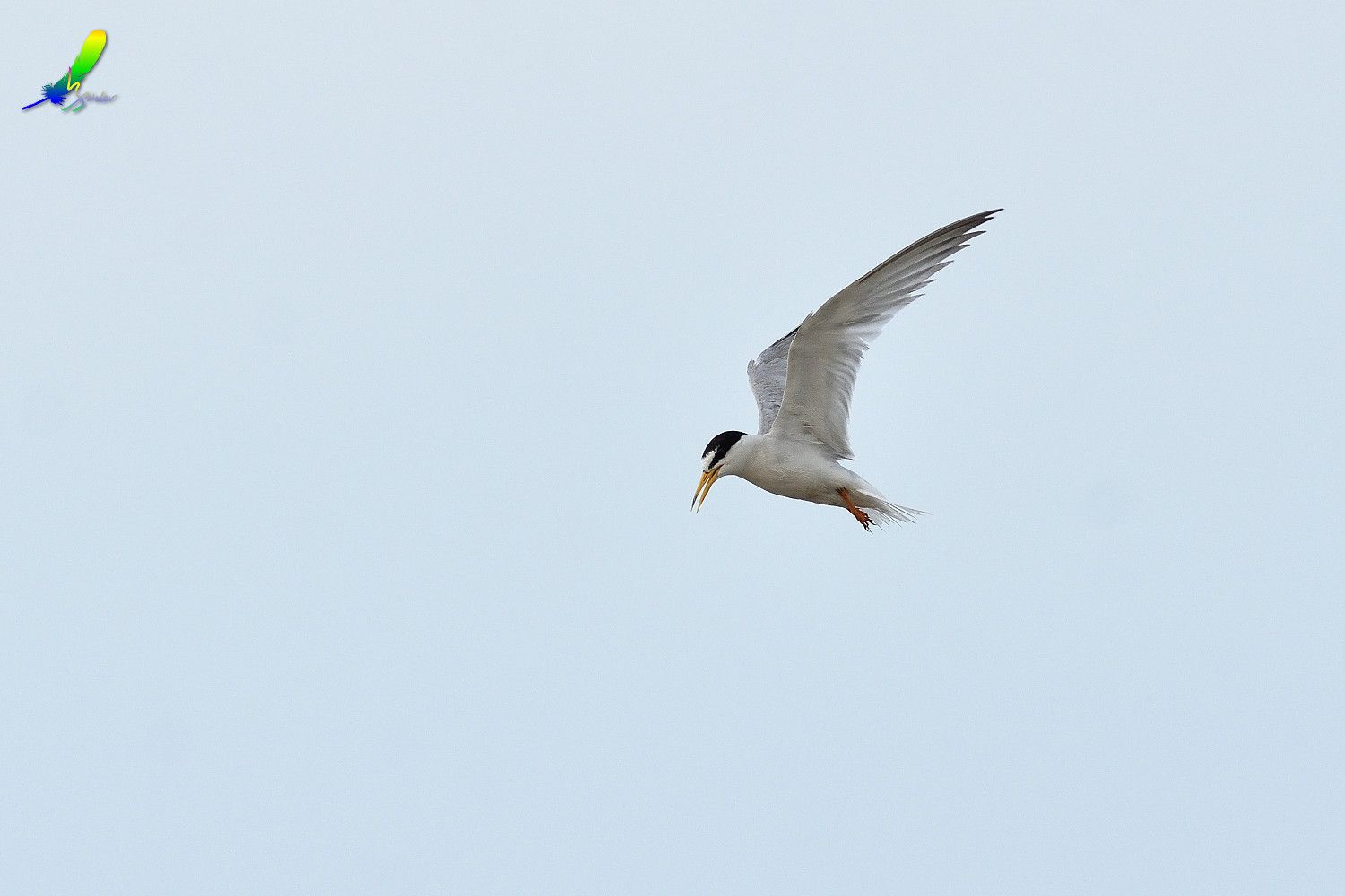 Little_Tern_9285
