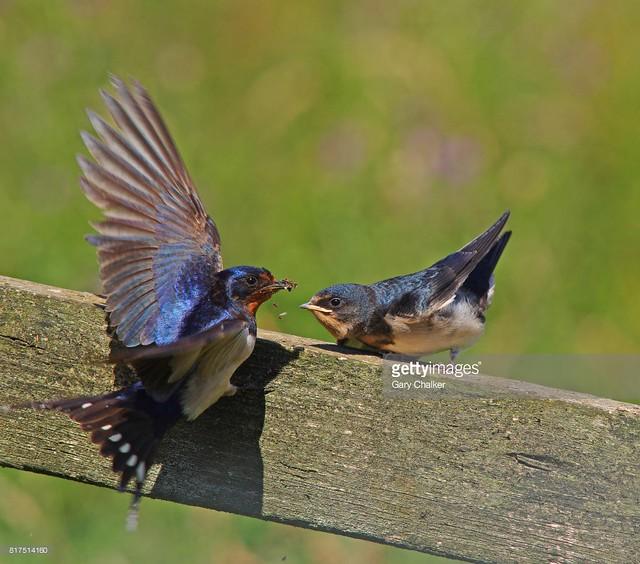Swallow feeding juvenile