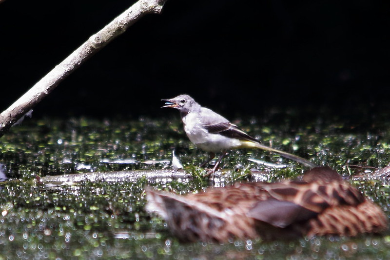 Grey Wagtail, Crag Hebble Dam