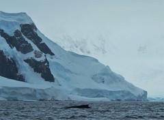 Whale and Glacier, Wilhemina Bay, Antarctica.