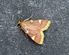 62.075 Gold Triangle - Hypsopygia costalis