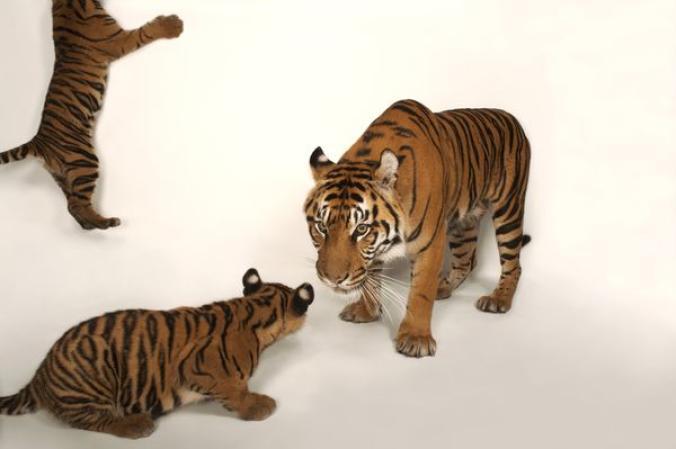 เสือโคร่งสุมาตรา