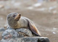 Fur Seal !!!