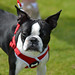 Boston Terrier, Sally