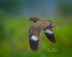 Nacunda Nighthawk