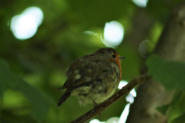Fluffy European Robin