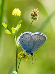 Provençal Short-tailed Blue